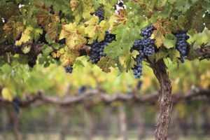 2019. Régi és új kihívások a szőlő és növényvédelemben!
